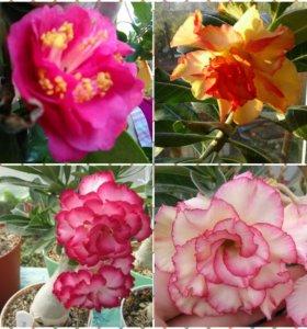 Комнатные растения. Цитрусовые и др.