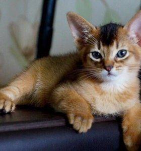 Абиссинская кошечка красотка
