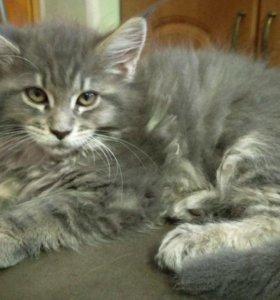 Котята 3 месяца мейн-кун