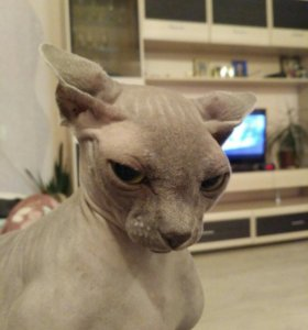 Кошка канадский сфинкс ищет жениха