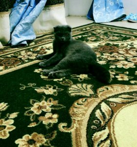Продам кошку очень умная