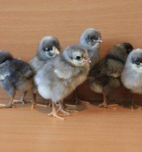 Цыплята Доминант, Родонит, инкубационное яйцо.