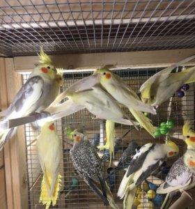 карелла попугайчики