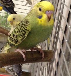 Два Птенца девочки волнистый попуга