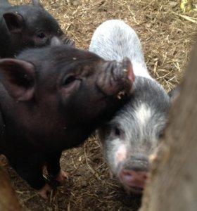 вьетнамская свиноматка 2года