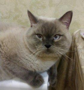 Шотландский кот  редкого окраса на вязку