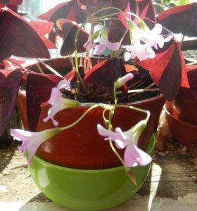 Цветок батерфляй