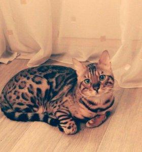 Приглашаем бенгальскую кошку