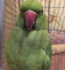Ожереловый попугай самка