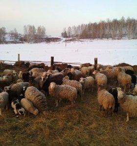 Овцы, ягнята
