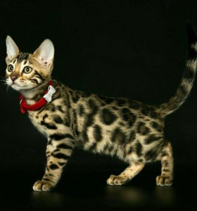 Бенгальские котята