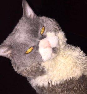 Кот селкирк-рекс на вязку