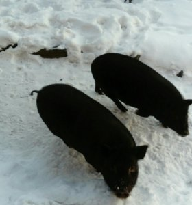 Половина туши вьетнамской свиньи убой под заказ