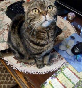 Отдам в надёжные руки кошку - вислоухую шотландку