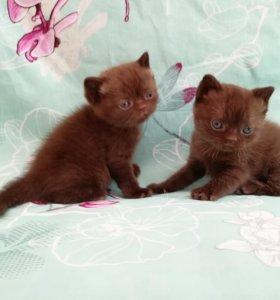 Два котика британской породы