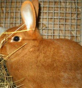 Новозиланский кролик