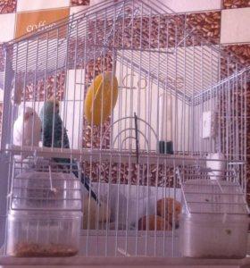 Волнистый попугайчики
