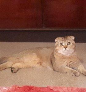 Вязка с шотландским вислоухим титулированным котом
