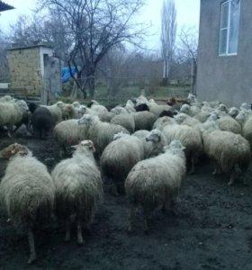 Продаю овец.