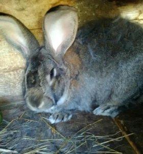 Кролики фландры и ризены