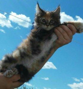 Продаю или меняю котят мейн-кун.на тратуарную плит
