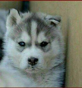 Супер щенок