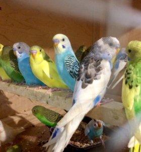 Доставка на дом - Волнистый попугай