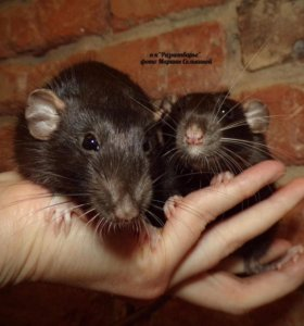 Декоративная крыса дамбо блек. Самец.