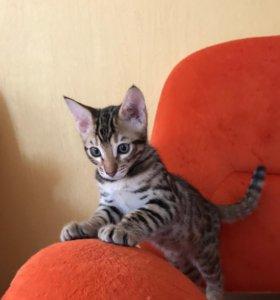 Котенок Саванна F5 2 месяца