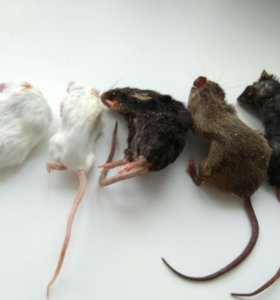 Кормовые мыши, крысы, перепела Самара и Тольятти