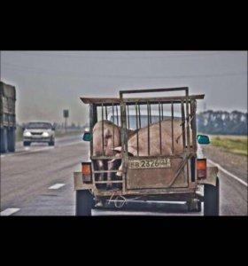 Закупаю свиньей 95руб