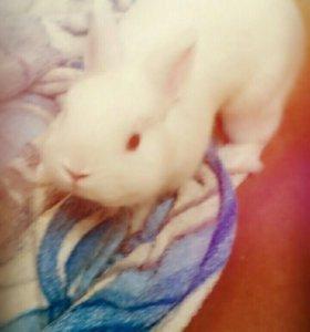 Кролик карликовый отдам в хорошие руки