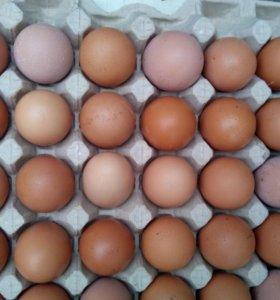 Инкубацыоное яйцо