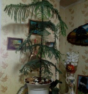 Араукария Рождественское дерево