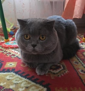 Кот. Британец. Самец.
