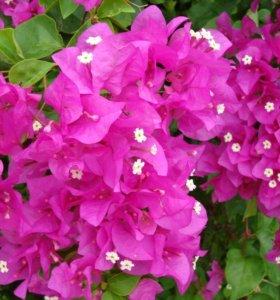 Бугенвиллея розовая