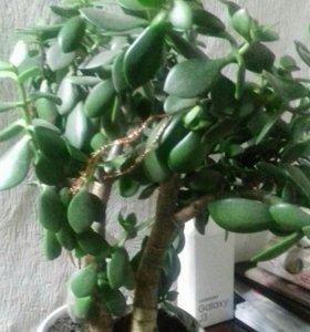 Денежное дерево (толстянка), есть детки