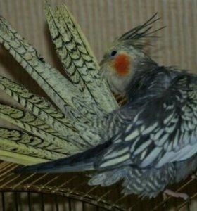 Птенцы попугая корелла