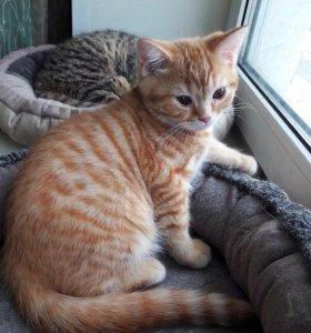 Шотландский красный полосатый котенок
