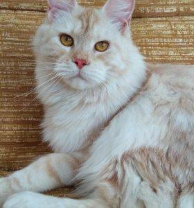 Кошка мейн кун Джоди