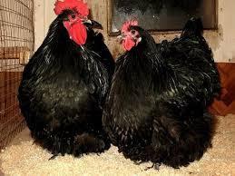 инкубационное яйцо породной птицы