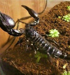Скорпион тропический лесной