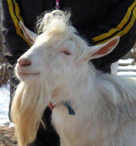 Зааненский козел комолый
