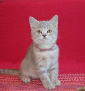Маруся - котёнок скоттиш-страйт