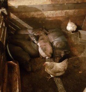 Свинки вьетнамские