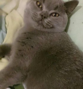 Британская плюшевая котенок девочка голубого окрас