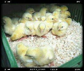 Суточные бройлерные цыплята