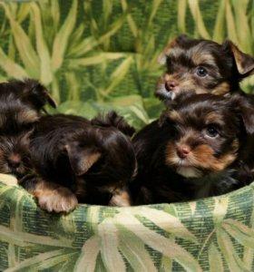 Шоколадные щенки