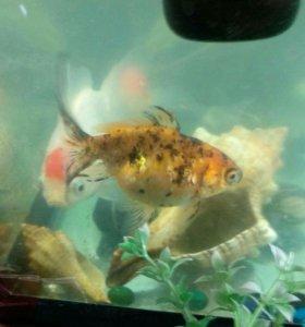 Золотые рыбки 3штуки