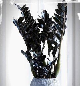 Замиокулькас Raven (черный)